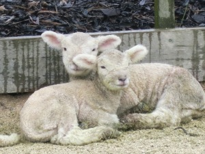 Baby lamb photographed from the side of the road!